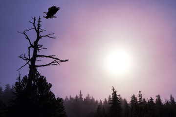 Composite. A Bald Eagle about to land on a tree, Southeast Alaska.