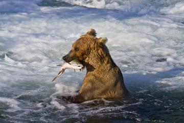 Brown bear (Ursus arctos) sitting in Brooks River rapids, holding sockeye salmon (Oncorhynchus nerka), Katmai National Park; Alaska, United States of America
