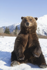 Captive adult Brown bear in snow at the Alaska Wildlife Conservation Center in Portage, Southcentral Alaska,Spring