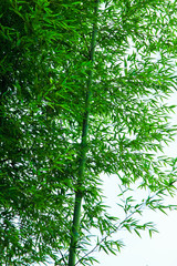the green bamboo & leaves / A view of the green bamboo & leaves in korea
