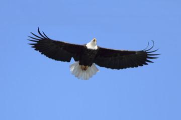 Fotoväggar - Adult Bald Eagle (haliaeetus leucocephalus)