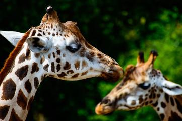Giraffenköpfe
