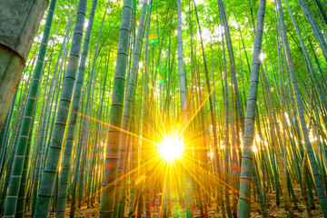 Fotobehang Bamboo Bamboo forest with sunny in morning