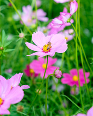 Small bee pollen cosmos flower close up