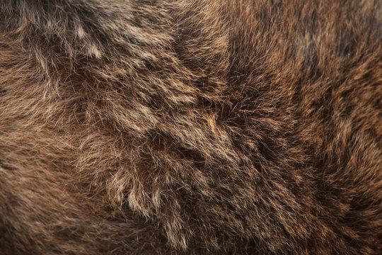 Brown bear (Ursus arctos) fur texture.