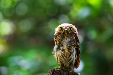 owls big yellow eyes on green blackground,wild animal in the nature,Thailand