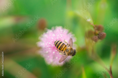 Bee On Pink Mimosa Pudica Flower Stock Photo And Royalty Free