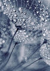 Obraz Nasiona mniszka lekarskiego z kroplami wody - fototapety do salonu