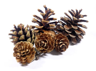 Close-up of six natural pine cones isolated on white background
