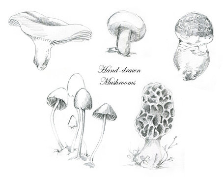 Hand-drawn pencil illustrations of the different mushrooms. Botanical toadstools drawing isolated on the white background.