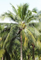 Coconut palm trees against on white background