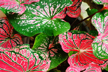 Caladium leaves closeup , pink and leaf texture background