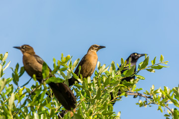 Clay-colored thrush birds and black crow perching on the top of green tree and staying alert