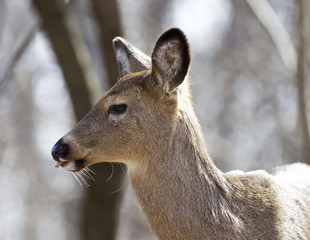 Beautiful isolated closeup of a wild deer in the forest