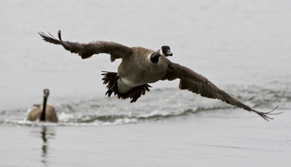 Isolated photo with a Canada goose flying away from his rival