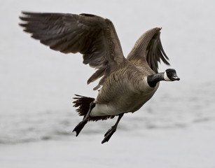 Beautiful isolated image with a flying Canada goose