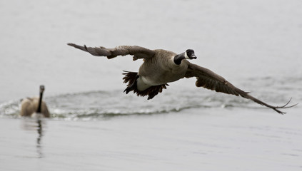 Isolated image with a Canada goose flying away from his rival