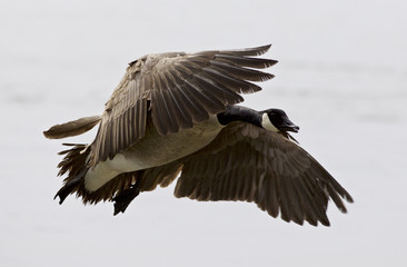 Beautiful isolated picture with a flying Canada goose