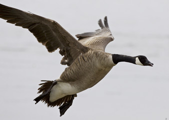 Beautiful isolated photo of a flying Canada goose