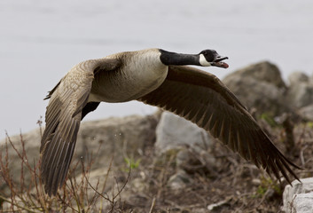 Beautiful isolated photo of a flying Canada goose near the shore