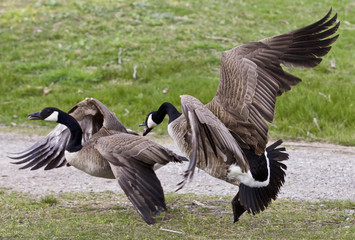 Photo of a fight between two Canada geese