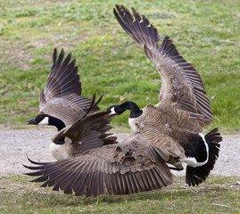Isolated image with a fight between two Canada geese