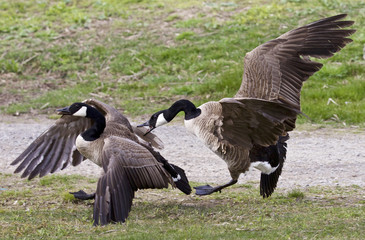 Isolated picture with a fight between two Canada geese