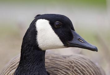 Beautiful portrait of a funny Canada goose