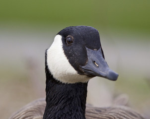 Beautiful portrait of a strong Canada goose