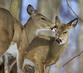Beautiful picture with a pair of the cute wild deers in love