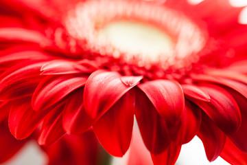 Gerbera jamesonii - red beautiful flower with macro details