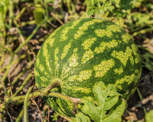 Green ripe watermelon in the garden waiting for harvesting