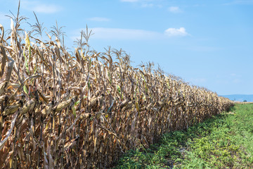 Ripe corn standing in the field waiting for harvest