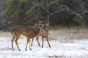 White-tailed deer buck preparing to fight each other on a winter day in Canada