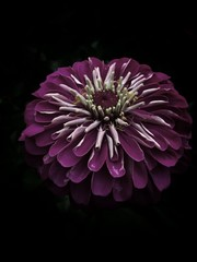 Close-Up Of Purple Zinnia Flower Blooming Outdoors
