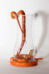 Morph corn snakes