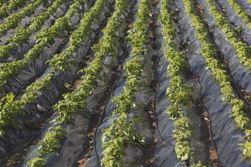 Plasticulture Tunnels With Growing Crops, Torrox, Malaga, Spain