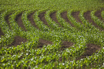 Crops Growing In Curved Lines In A Field, Thunder Bay, Ontario, Canada