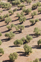 Olive Trees, Montoro, Cordoba Province, Andalusia, Spain