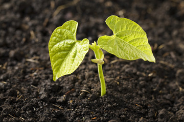 Close up of a bean plant seedling at the two leaf stage,Calgary alberta canada