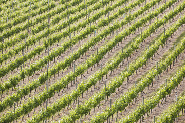 Rows of grape vines highlighted by the sun,Summerland british columbia canada