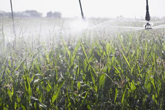 Irrigation system spraying on a corn field,Alberta canada