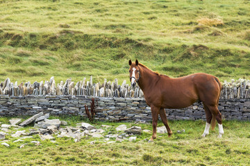 Single horse in a grassy field with rocks and stone fence, Kilkee, County Clare, Ireland