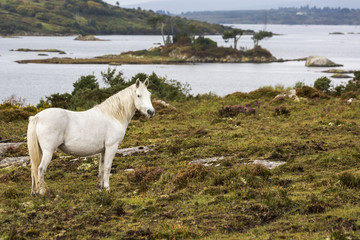 Single white horse in scrubby field with bay and island in background, Clifden, County Galway, Ireland