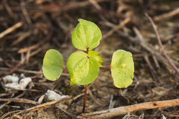 Cotton seedling, two true leaf stage, no till culture, England, Arkansas, United States of America