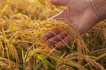 Hand holding ripe rice at harvest stage, England, Arkansas, United States of America