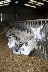 In lamb ewes in lambing shed receiving a complete silage based diet, Cumbria, England