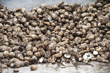 Stockpile of fodder beet to be added into a complete diet mix for in lamb ewes, Cumbria, England