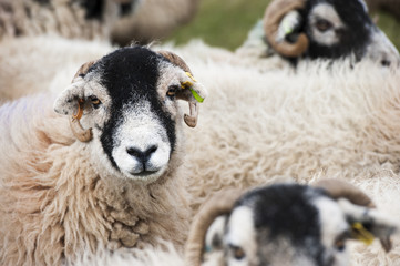 Flock of Swaledale ewes which have been crossed with a Blue Faced Leicester ram to produce mule crossbred lambs, Cumbria, England