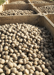 Seed potatoes ready for planting in spring, Yorkshire, England